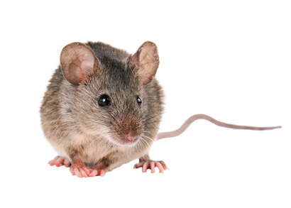 Rodent Control Auckland, Rat Control Same Day Service Available